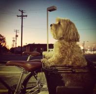 harvey in his bike basket